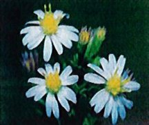 aster-smooth-blue