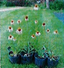 coneflower-narrowleaf