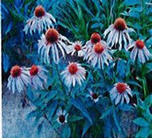 coneflower-purple