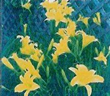 daylily-hyperion
