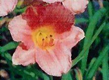 daylily-my-melinda