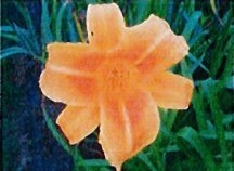 daylily-rocket-city