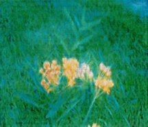 milkweed-butterfly