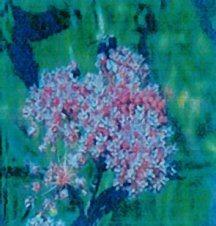 milkweed-swamp