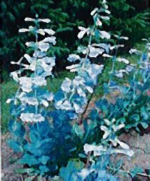 penstemon-shell-leaf
