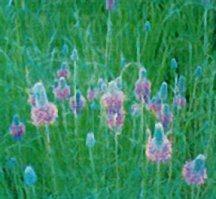 prairie-clover-purple-bismarck