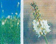 prairie-clover-white-antelope