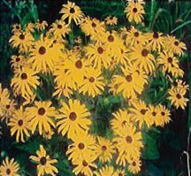 rudbeckia-goldstrum